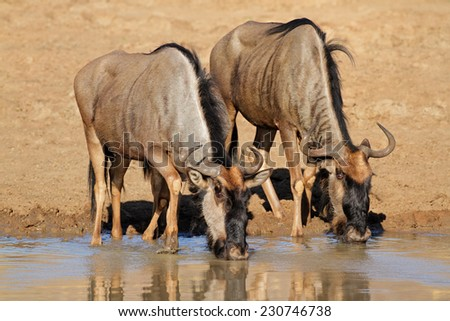 Blue wildebeest (Connochaetes taurinus) drinking water, Pilanesberg National Park, South Africa - stock photo