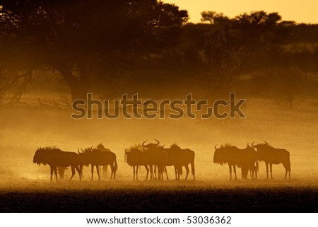 Blue wildebeest (Connochaetes taurinus) in dust at sunrise, Kalahari desert, South Africa - stock photo