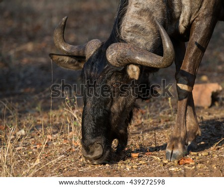 Blue Wildebeest (Connochaetes taurinus) Kruger National Park, South Africa - stock photo