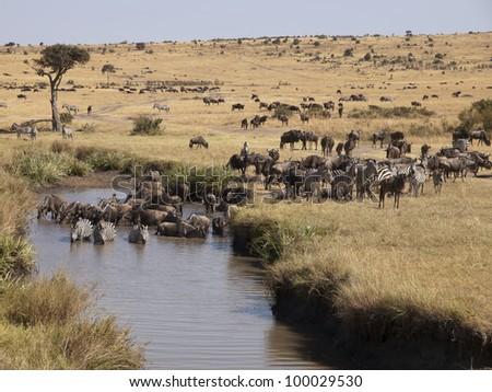 blue wildebeest , Connochaetes taurinus.Masai Mara.  Kenya. Africa - stock photo