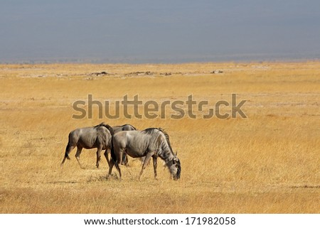 Blue wildebeest (Connochaetes taurinus) on open grassland, Amboseli National Park, Kenya - stock photo