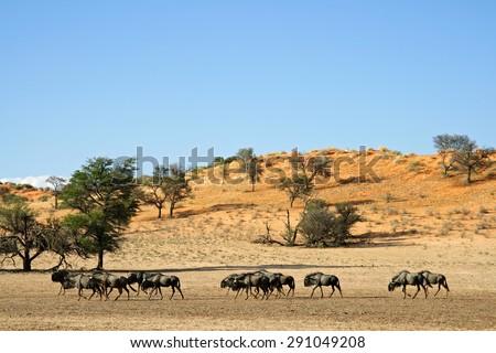 Blue wildebeest (Connochaetes taurinus) walking in a dry riverbed, Kalahari desert, South Africa  - stock photo