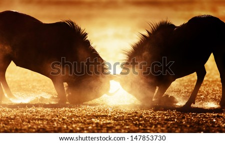 Blue wildebeest dual in dust - Kalahari desert - South Africa - stock photo