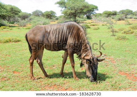 Blue Wildebeest grazing on a farm in South Africa  - stock photo