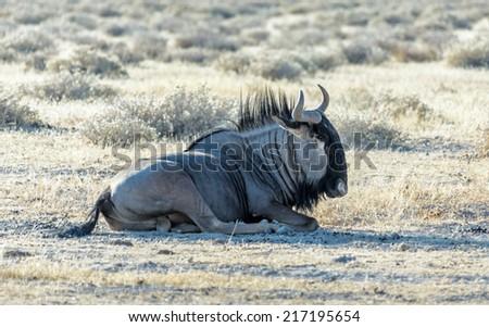 Blue Wildebeest in Etosha National Park - Namibia, South-West Africa - stock photo