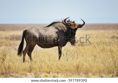 Blue Wildebeest in Namibia, Africa