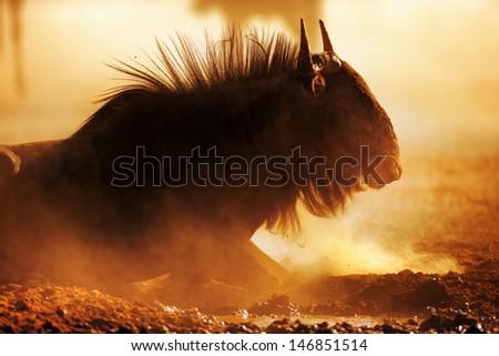 Blue wildebeest portrait in dust - Kalahari desert - South Africa - stock photo