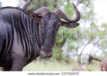 Blue wildebeest. South Africa, Kruger National Park. - stock photo