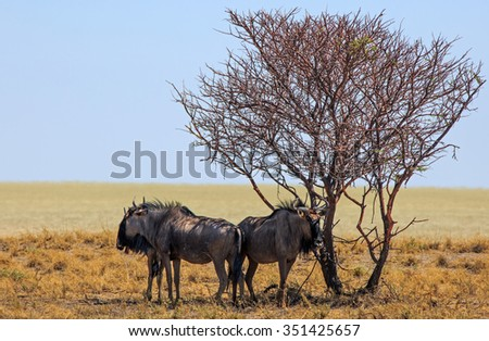 Blue Wildebeest taking shade under a solitary tree on the edge of the Etosha Pan
