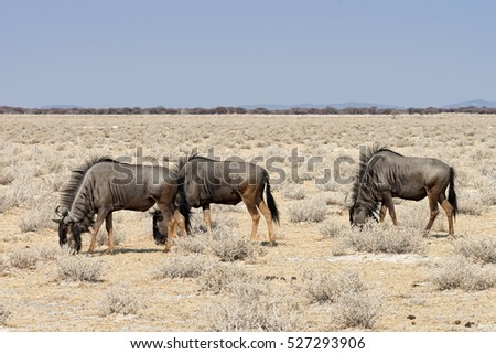 Blue Wildebeests (Connochaetes taurinus) grazing in Etosha National Park, Namibia