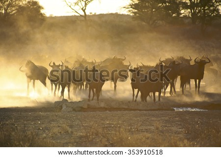 Blue Wildebeests in Kgalagadi Transfrontier Park with sun light during sunset, South Africa - stock photo