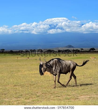 Blue wildebeests in the African wild habitat - stock photo
