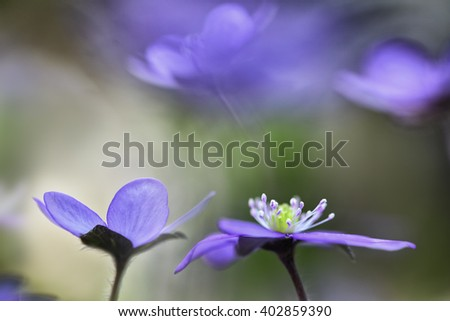 blue wildflower abstract, spring wild flower, Hepatica nobilis. Liverwort or liverleaf is a small wildflower. Shallow depth of field makes the background abstractand delicate and fragile. - stock photo