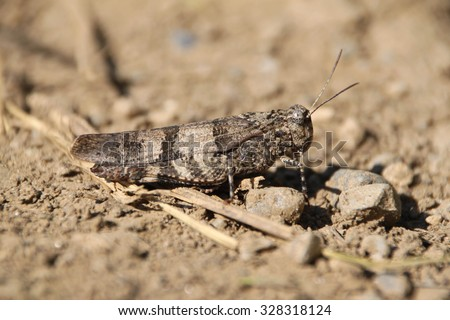 blue-winged grasshopper, Oedipoda caerulescens - stock photo