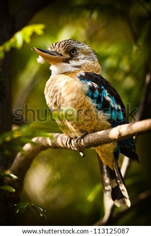 Blue-winged Kingfisher