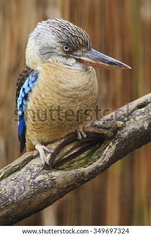 Blue-winged Kookaburra, Dacelo leachii, rare kingfisher bird from Australia, sitting on the branch - stock photo