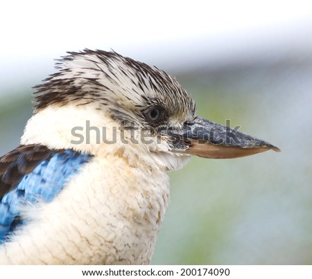 Blue-winged kookaburra kingfisher - Dacelo leachii