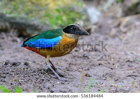 Blue-winged Pitta(Blue-winged Pitta),colorful bird standing on ground.