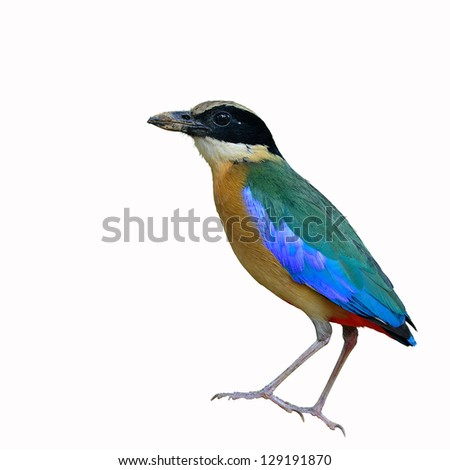 Blue winged Pitta on white background.(Pitta moluccensis)