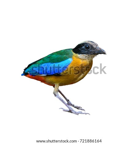 Blue-winged Pitta or Pitta moluccensis, colorful bird isolated standing on ground with white background, Thailand.
