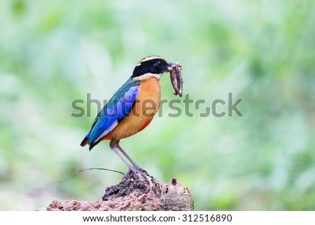 Blue-winged Pitta (Pitta moluccensis) beautiful bird with 7 color.