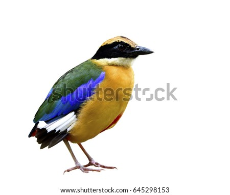 Blue-winged pitta (Pitta moluccensis) beautiful bird with multiple colors feathers bird isolated on white background