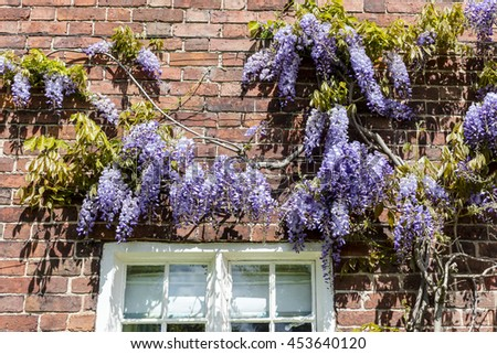 Blue wisteria against the wall of an old house.