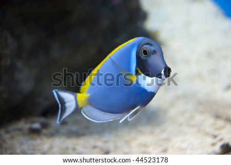 Blue, yellow and white fish in a large tank - stock photo