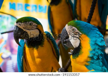 blue yellow parrot macaw bird
