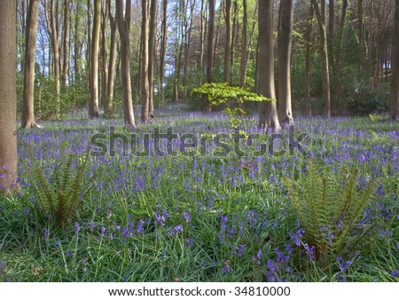 Bluebell (Hyacinthoides non-scripta) Woods near Cleeve, North Somerset. England.