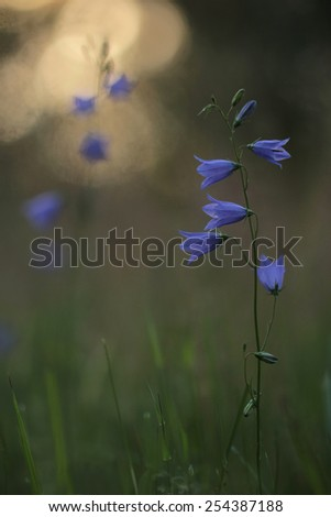 Bluebell in woods - stock photo
