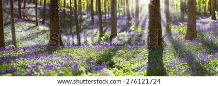 bluebell spring wildflowers in Haller bos, Belgium. hyacinthoides non-scripta - stock photo