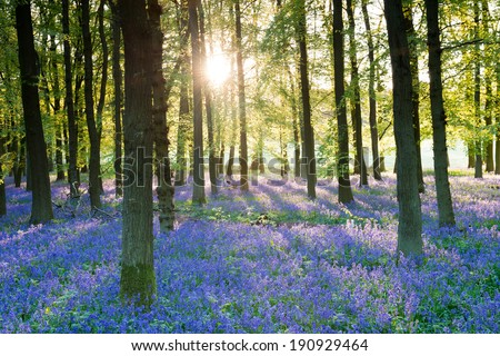 Bluebell wood - stock photo