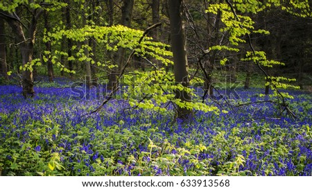 Bluebell woodland with bright colorful  leaves