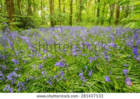 Bluebell woods in cornwall england UK. Stunning springtime show of these native english flowers