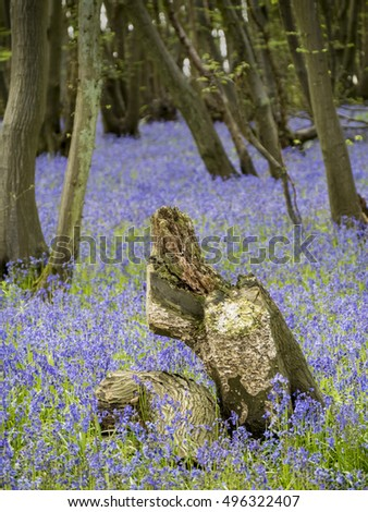 Bluebell woods with foreground tree stumps