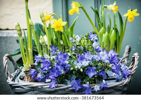Bluebells and yellow daffodils in the wicker basket. Symbol of spring. Gardening theme. Natural decoration. - stock photo
