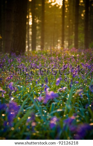 Bluebells at dawn in an English wood - stock photo