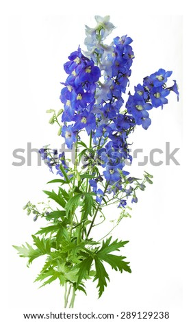 Bluebells bunch isolated on white background, - stock photo