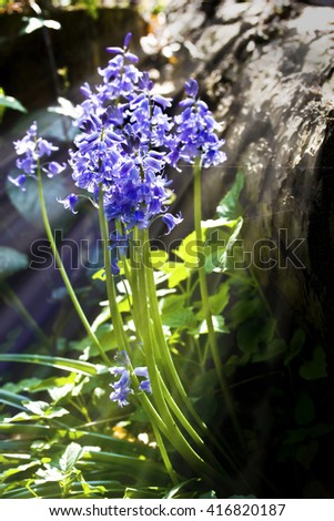 Bluebells close up with sunlight streaming through