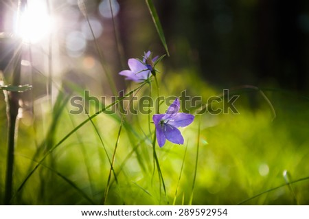 Bluebells in the forest at sunset. Small depth of field. Beautiful summer nature - stock photo
