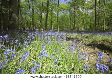 bluebells in wood green leaves trees behind - stock photo