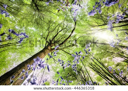 Bluebells viewed from a worms eye view looking up to the trees and leaf canopy with spring sunlight - stock photo