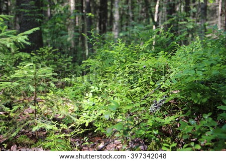 Blueberries in forest. Summer season. Green plants