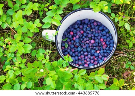 Blueberries in the cup. Picking in the forest