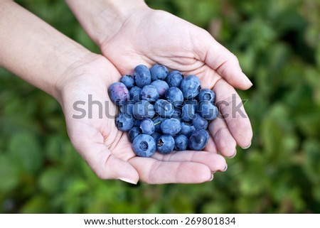 Blueberries in the woman's hands. Blurred green shrubs on the background. - stock photo