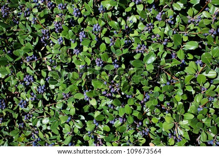 blueberries on a background of green leaves