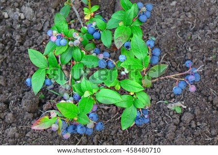 Blueberries Or Vaccinium Dwarf Shrubs With Ripe Fruits Cultivated In Garden, Top View, Close Up - stock photo