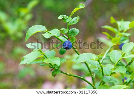 blueberry bush in wild forest - stock photo