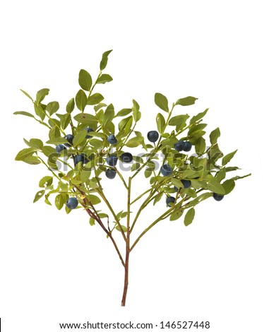 blueberry bush with berries on a white background - stock photo